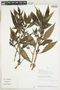 Hygrophila costata Nees & T. Nees, Peru, J. Campos 2668, F