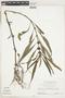 Hygrophila costata Nees & T. Nees, Suriname, H. S. Irwin 55484, F