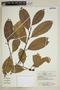 Calophyllum brasiliense Cambess., Bolivia, A. Cruz 44, F