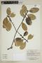 Calophyllum brasiliense Cambess., Bolivia, E. Meneces 301, F