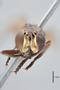 3130511 Tropidomyia alexanderi PT h IN