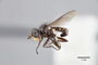 3130513 Robertsonomyia painteri PT p IN