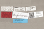 3130539 Stylogaster nigricoxa PT labels IN