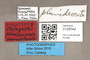 3130540 Stylogaster plumidecorata PT labels IN