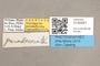 3130541 Stylogaster paradecorata PT labels IN