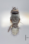 3130562 Botanophila inornata HT d IN