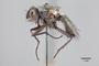 3130562 Botanophila inornata HT p IN