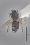 3130615 Spelobia brevipteryx PT d IN