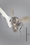 3130615 Spelobia brevipteryx PT h IN