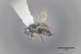 3130615 Spelobia brevipteryx PT p IN