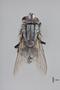 3130715 Acridophaga aculeata PT d IN