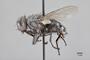3130715 Acridophaga aculeata PT p IN