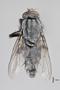 3130743 Bercaeopsis monticola PT d IN