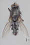 3130745 Bercaeopsis idonea PT d IN