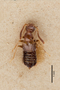 3048556 Apocellus longipennis ST d IN
