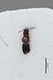 3048581 Trogophloeus parcepunctatus LT d IN