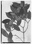 Field Museum photo negatives collection; Wien specimen of Alibertia latifolia var. parvifolia K. Schum., BRITISH GUIANA [Guyana], R. H. Schomburgk 462, Isosyntype, W