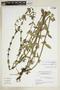 Diodia macrophylla image