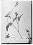 Drymaria grandiflora image