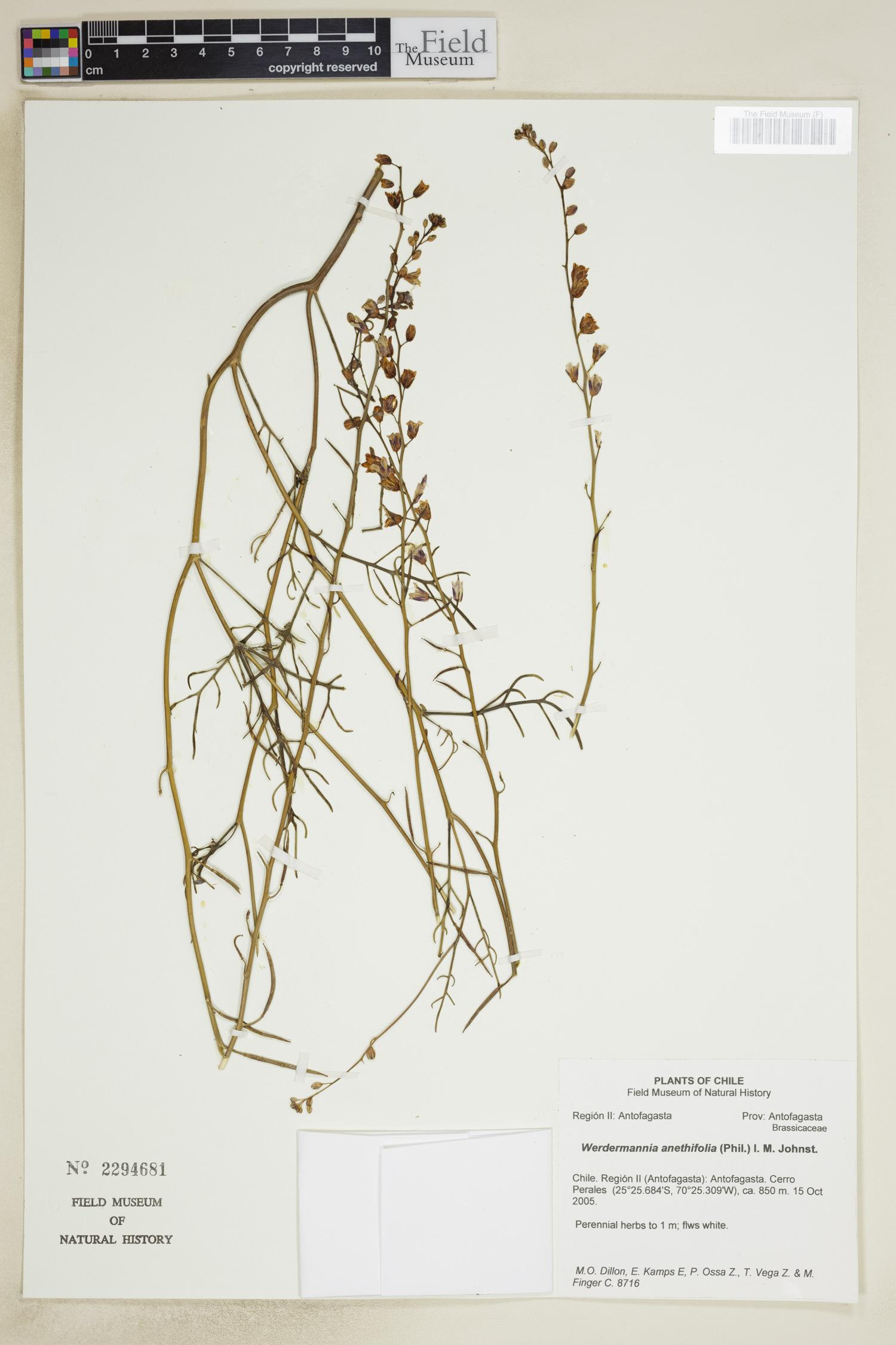 Werdermannia anethifolia image