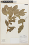 Zygia latifolia (L.) Fawc. & Rendle, Colombia, D. Alvira 78, F