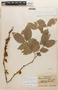 Zygia latifolia (L.) Fawc. & Rendle, Brazil, W. A. Archer 7623, F