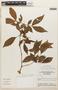 Zygia cf. latifolia (L.) Fawc. & Rendle, Brazil, G. T. Prance 20717, F