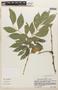 Zygia latifolia (L.) Fawc. & Rendle, Peru, S. Smith 354, F