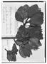 Field Museum photo negatives collection; Wien specimen of Roupala loranthoides Meisn., COSTA RICA, E. R. von Friedrichsthal 1225, Holotype, W