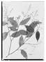 Field Museum photo negatives collection; Wien specimen of Licania pendula Benth., BRITISH GUIANA [Guyana], Schomburgk 906, Isotype, W