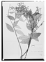 Field Museum photo negatives collection; Wien specimen of Licania rufescens Klotzsch ex Fritsch, BRITISH GUIANA [Guyana], Schomburgk 601, Holotype, W