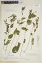 Browallia americana image