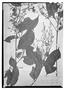 Field Museum photo negatives collection; Wien specimen of Myrcia latifolia O. Berg, BRAZIL, E. F. Poeppig 2871, Isotype, W
