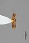 3048600 Oxytelus anisopsiformis ST v IN