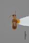 3048600 Oxytelus anisopsiformis ST d IN