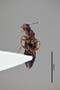 3048638 Anisopsis carinata var rugulipennis ST v IN