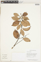 Licania coriacea Benth., Guyana, T. W. Henkel 5115, F