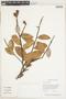 Licania coriacea Benth., Guyana, P. Mutchnick 772, F