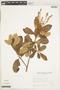 Clethra scabra Pers., Brazil, A. Krapovickas 33659, F