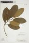 Pouteria subrotata Cronquist, Venezuela, J. A. Steyermark 112703, F