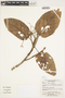 Sterculiaceae, Bolivia, E. Meneces 109, F