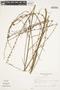 Byttneria genistella Triana & Planch., Brazil, A. Krapovickas 37822, F