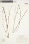 Byttneria genistella Triana & Planch., BRAZIL, A. Krapovickas 40226, F