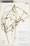 Sida abutiloides Jacq., Peru, N. Paniagua Z. 8253, F