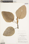 Coussapoa villosa Poepp. & Endl., Brazil, C. C. Berg 18455, F