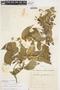 Carolus chlorocarpus (A. Juss.) W. R. Anderson, Brazil, H. L. de Mello Barreto 6091, F