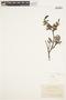 Salix anamesa image