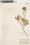 Salix anglorum image