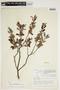 Salix athabascensis image
