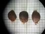 Celtis pallida Torr., Mexico, F. Chiang C. 425, F